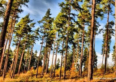las sosnowy przy Drodze Dzwonkowej na odcinku wyjście z lasów w okolicy Ostrzycy